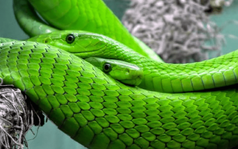 Fancycrave free photo - Green snakes in a tree