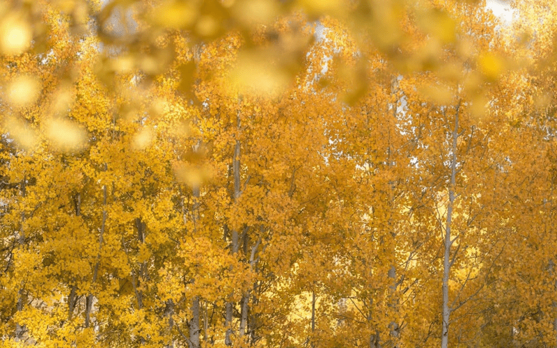 Shutteroo free photo - Yellowstone trees in Autumn